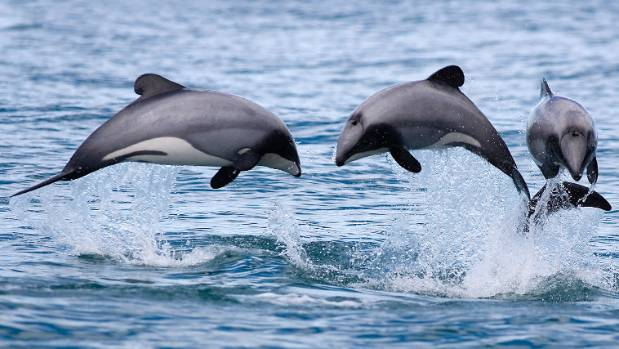 hector dolphins